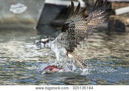 Osprey Adjusts Fish In Its Talons In Hayden Lake In Hayden, Idaho Usa.