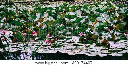 Waterlily Flowers On The Pond In Spring Time.