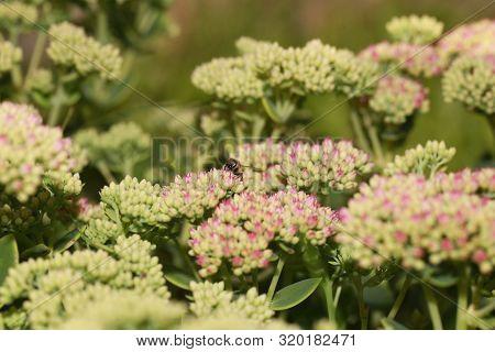 Bee On Beautiful Decorative Garden Plant. Sedum (sedum Spectabile) At Autumn Sunny Day. Flower Card