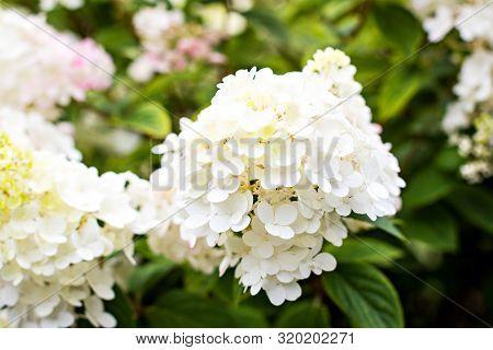 Hydrangea, Soft Focus, Noise Added. Beautiful Flowers. Beauty In Nature.  Hydrangea Macrophylla - Be