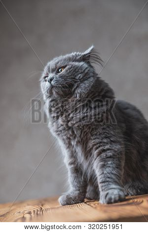 seated on wood gorgeous British Longhair cat with gray fur and pricked ears looking away on gray studio background poster
