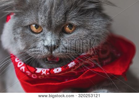 seated on wood adorable British Longhair cat with gray fur and red bandana looking at the camera angrily with mouth open on gray studio background poster