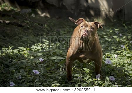 Pitbull Dog Staring At The Victim With A Determined Eye There Is An Attempt To Capture The Victim Ve