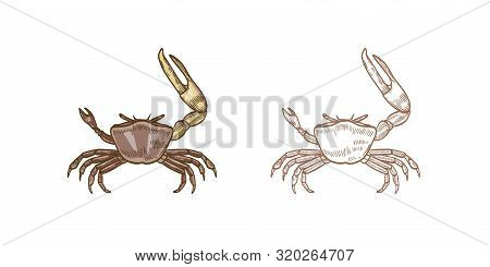 Fiddler Crab Vector Illustrations Set. Colorful And Monochrome Hand Drawn Crustaceans On White Backg