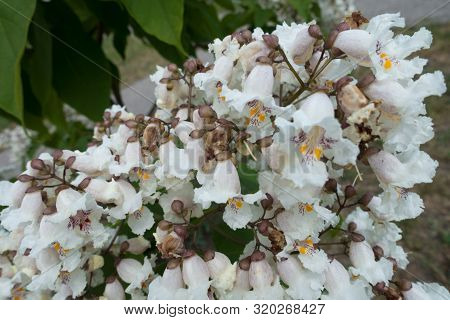 Many White Flowers Of Catalpa Tree In June