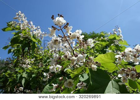 View Of Panicle Of Flowers Of Catalpa Aginst Blue Sky