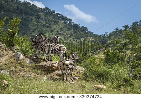 Small Group Plains Zebras In Green Mountain Scenery In Kruger National Park, South Africa ; Specie E