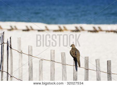 Beach Dove