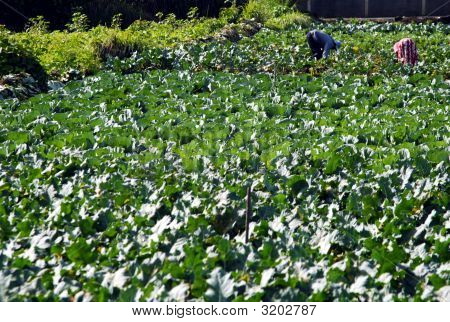 Gardeners In Vegetable Field