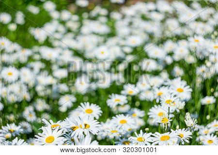 Blurred Chamomile Flower Field Background. Camomile In The Nature. Field Of Camomiles At Sunny Day A