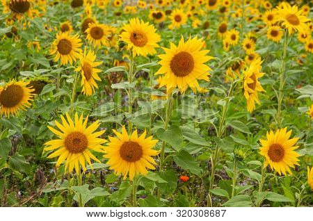 Common Sunflowers, Helianthus Annuus, In Field On Summer Day