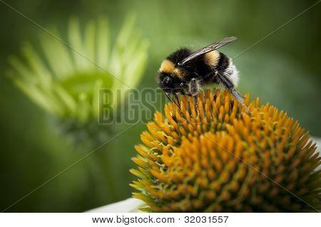 Bumblebee on a orange flower