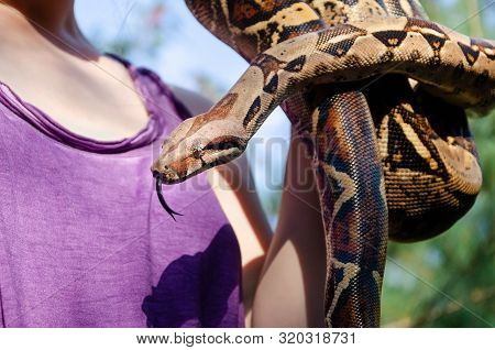 Fearless Girl Is Holding A Snake. Boa Constrictor Imperator Normal Is Creeping. The Snake Is Coiling
