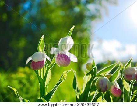 Showy Lady's-slippers, Cypripedium Reginae, Minnesota State Flower.