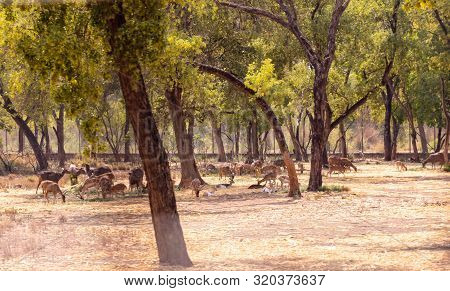 Herd Of Barasingha, Cheetal And Rose Deer Gazing And Walking In The Forest. Wildlife Animal