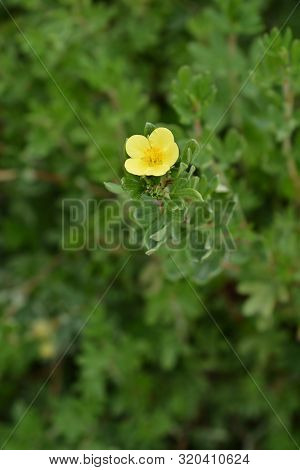 Yellow Shrubby Cinquefoil Flower - Latin Name - Potentilla Fruticosa (dasiphora Fruticosa)