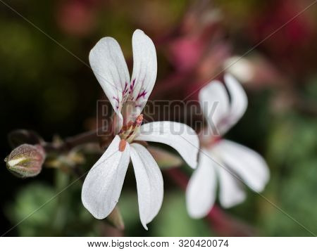 Close-up Macro Of Small White Flower And The Anthers Of The Nutmeg Pelargonium (geraniaceae - Pelarg