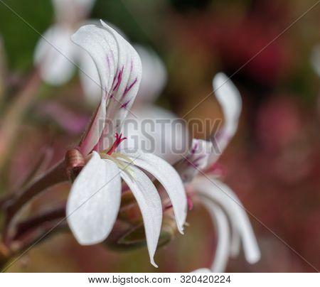 Close-up Macro Of Small White Flower And The Stigma Of The Nutmeg Pelargonium (geraniaceae - Pelargo