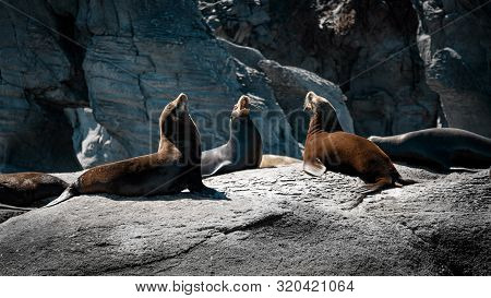California Sea Lions (zalophus Californianus) On The Rocks Of Isla Coronado. Baja California, Gulf O
