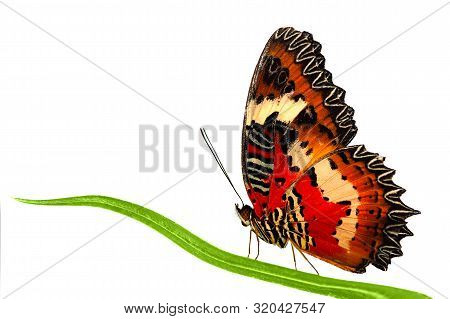 Side View Of Leopard Lacewing Butterfly Sitting On Grass Leaf. Stock Photo Isolated On White Backgro