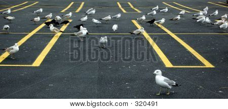 Seagulls In A Parking Lot