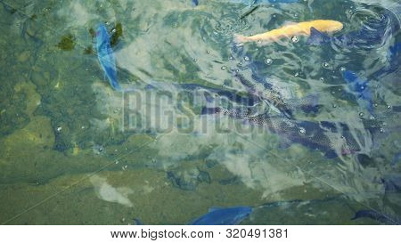 multi-colored, artificially bred trout, white, blue in a pond on a trout farm. poster