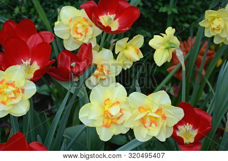 Attractive Profusion Of Red Tulip And Variegated Daffodil  Blossoms Interspersed With Green Foliage.