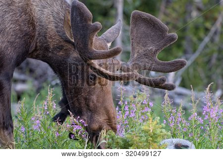 Colorado Rocky Mountains - Shiras Moose In The Wild. Bull Moose Eating Wildflowers
