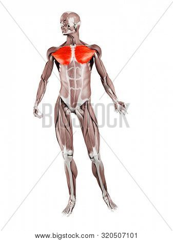 3d rendered muscle illustration of the pectoralis major
