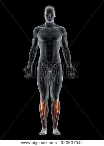 3d rendered muscle illustration of the tibialis anterior