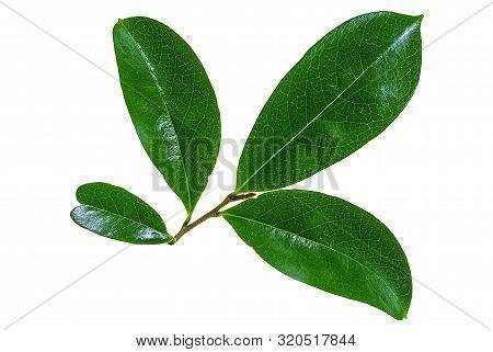 Fresh Soursop Leaf Isolated On White Background