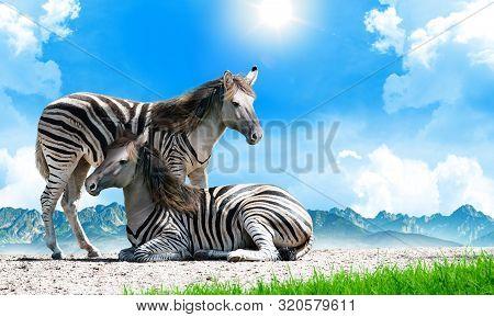 Zorse, A Zebra And Horse Hybrid. Equus Zebra X Equus Caballus. Background With Copy Space.