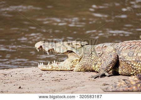 Big Nile Crocodile, Awash Falls Ethiopia