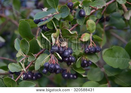 Black Chokeberry Branch With Ripe Berries Closeup