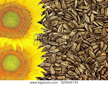Flowers Of Sunflower And Seed Suitable As Food Background. Top View.