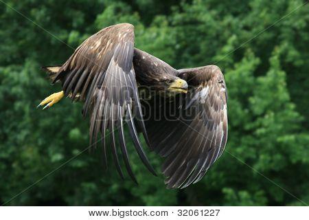 White Tiled Eagle
