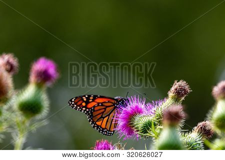 Monarch On Thistle. A Large Monarch Butterfly On Purple Thistle. Monarch Butterflies Are Endangered