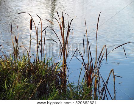 Typha Latifolia Also Named Bulrush Or Reedmace, In America Reed, Cattail Or Punks, In Australia Cumb