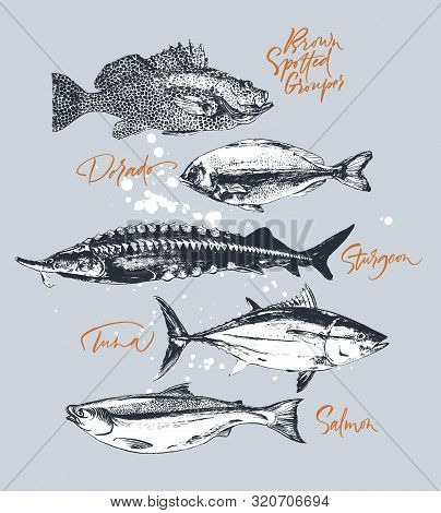 Three Delicates Fish. Tuna, Salmon, Brown Spotted Grouper, Sturgeon, Dorado. Hand Drawn With Brush A