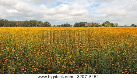Cultivation Of Many Orange Blooming African Marigold Or Tagetes Plants On A Cloudy Day At The End Of