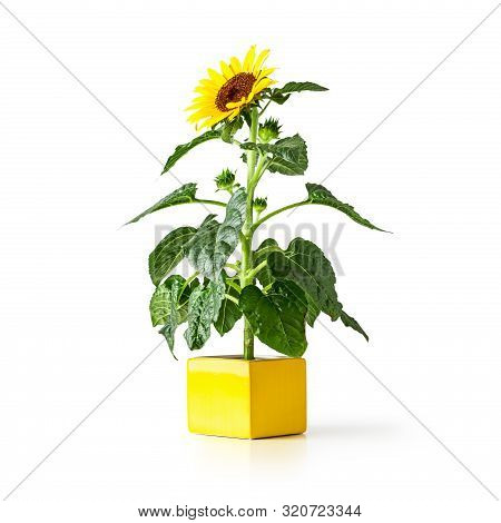 Sunflower Flower In Yellow Vase. Helianthus Perennial Plant. Single Object Isolated On White Backgro