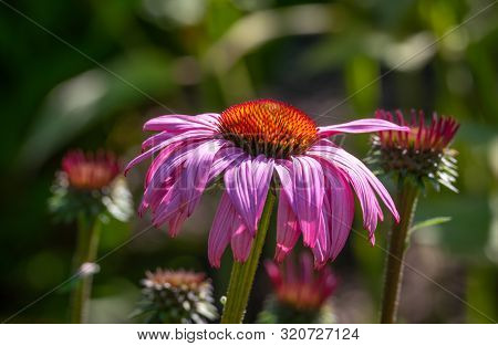 Cone Flower In Spring
