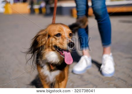 Woman Is Walking With Her Dog. Funny Spaniel Mutt In Summer City Street