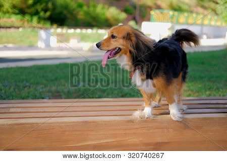 Funny Spaniel Mutt On A Wooden Bench In Summer Park. Dog Walking Outdoors