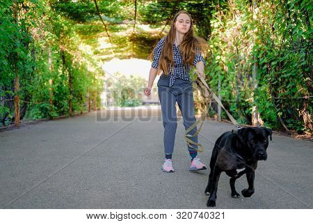 Young Girl Is Walking With Her Dog Pulling The Leash On Asphalt Sidewalk. Strong Black Labrador And