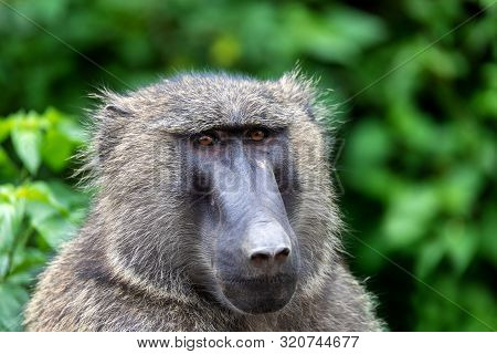 Chacma Baboon, Papio Ursinus, Also Known As The Cape Baboon. Is Strong And Big African Monkey. Hawas