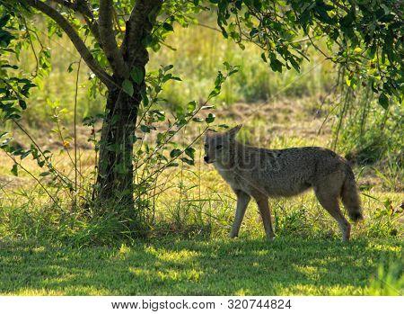 Coyote prowling in the back yard, stopping in the shade of an apple tree to look for fallen apples
