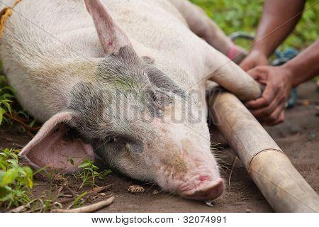 Schwein-Transport