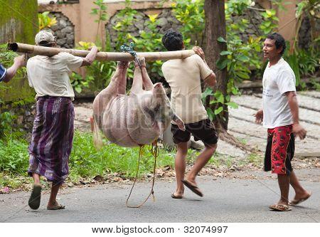 Pig Transport