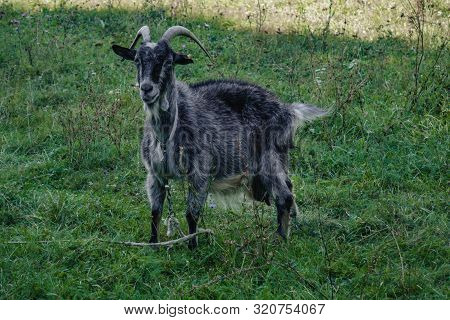 Black Goats Outdoor. Goat In The Field.